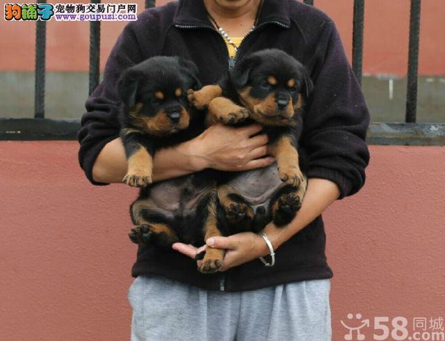 犬舍精品罗威 纯保健康 疫苗和驱虫均已做完欢迎上门