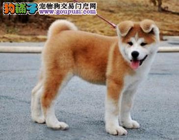 出售纯种秋田幼犬 引进日本赛级种公种母