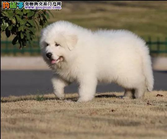 纯种大白熊幼犬出售 驱虫疫苗已做好 全国送货上门