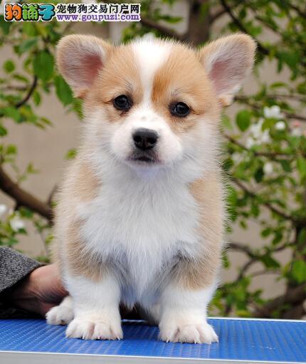 出售纯种短腿柯基幼犬,乖巧听话血统纯正 包健康