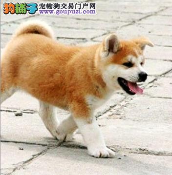 纯正秋田幼犬出售,是人们忠诚的伴侣,签订质保协议