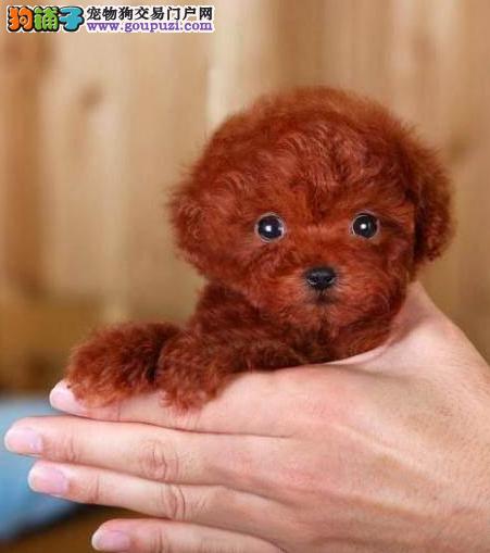 全国送货上门 萌萌哒精品泰迪幼犬 纯种健康好养活
