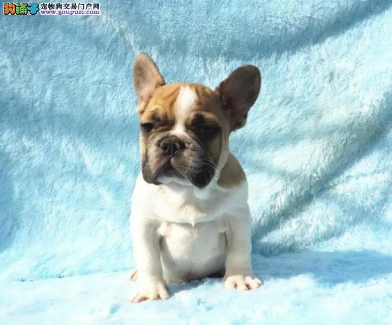 长期繁殖高品质法国斗牛犬 各类纯种名犬 包养活签协议