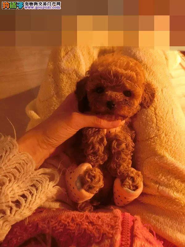 犬舍直销纯种泰迪 可上门、保纯、保健康