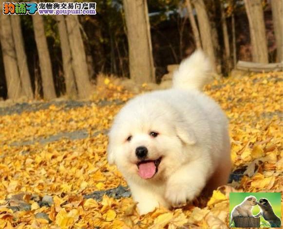 纯种大骨量大白熊幼犬王者风范 品相纯正保证健康品质