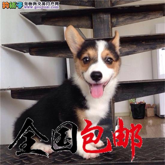 威尔士柯基犬带证书出售中 终身健康免费饲养指导