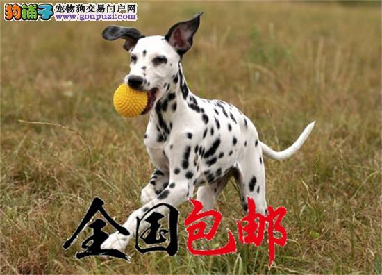 犬舍直销听话的斑点宝宝/CKU认证品质绝对保证健康