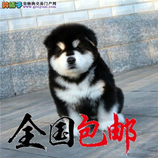 cku认证犬舍出售极品阿拉斯加签协议包健康