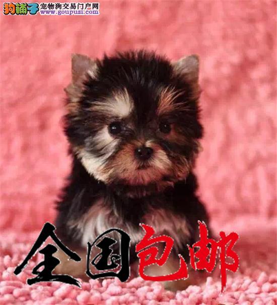 韩版超小体约克夏犬金头银背 茶杯体超小型梗幼犬出售