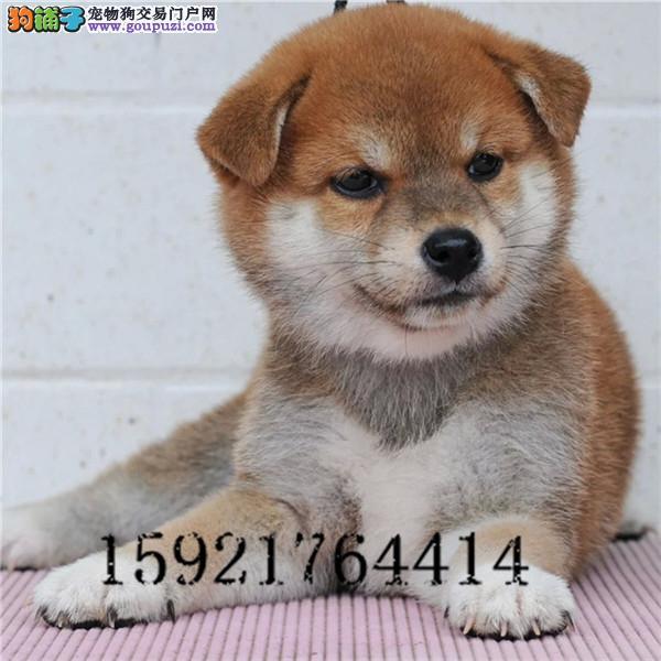日系精品柴犬/包纯种·保健康·包养活/可送货上门