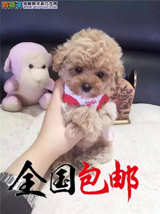 出售精品泰迪犬/包纯种健康·包养活/可送货上门