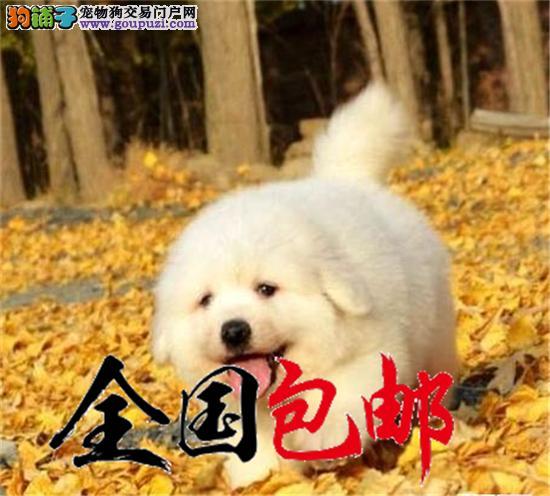 大白熊本犬舍纯种健康精品萨摩正规犬舍直销有保障