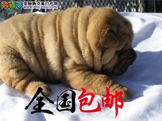 出售高品质 沙皮狗幼犬 血统纯正 体型完美 健康纯种
