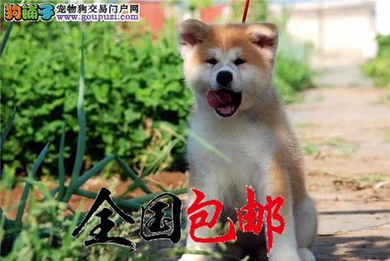 日美系秋田犬 带证书包三年 高端伴侣犬 护卫犬