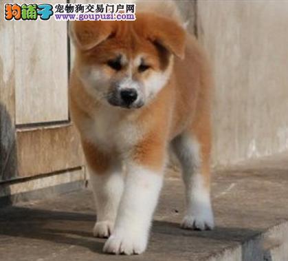 纯种秋田幼犬出售 驱虫疫苗已做好