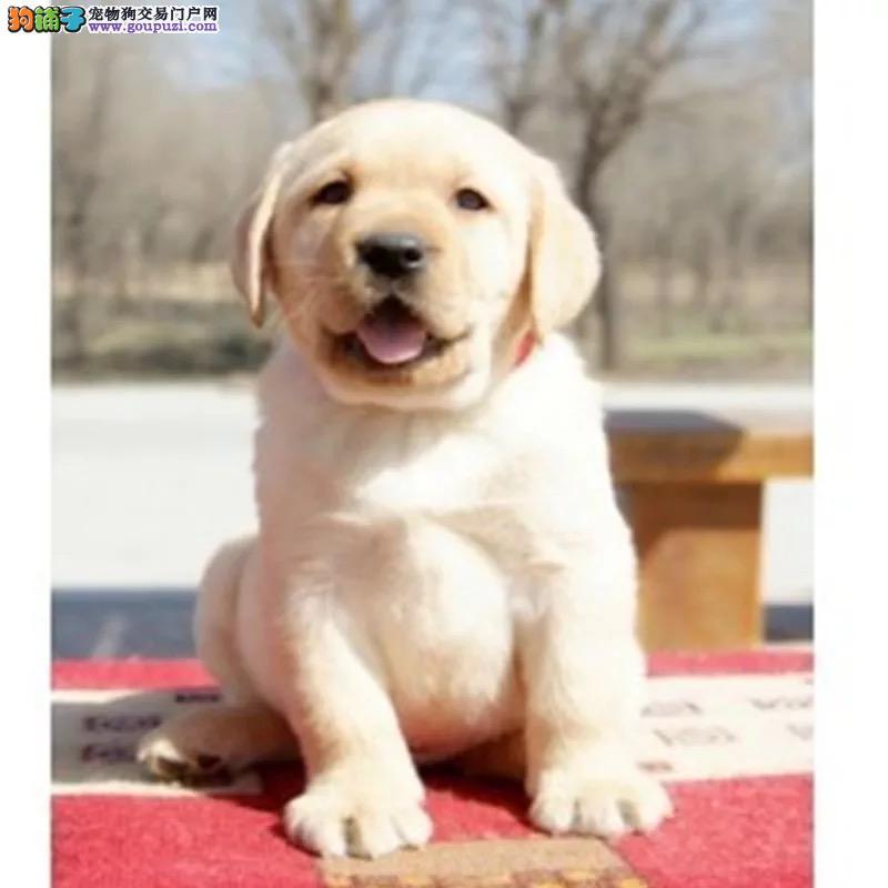纯种l拉布拉多幼犬出售 驱虫疫苗已做好 全国送货上门