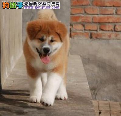 纯种秋田幼犬出售 驱虫疫苗已做好 全国送货上门