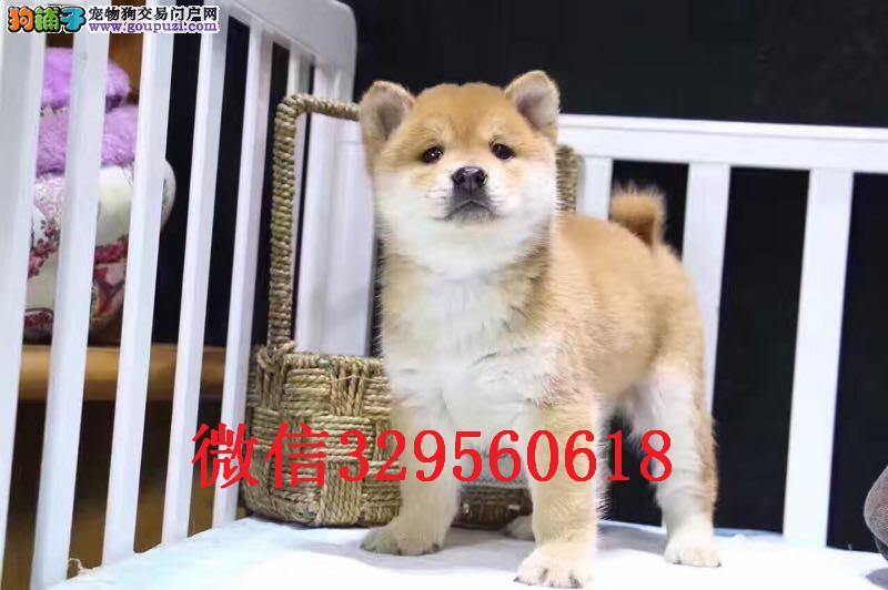 乌鲁木齐哪里卖柴犬 日本柴犬出售 柴犬多少钱一只