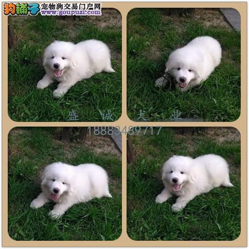 出售纯种大白熊犬 自家养殖的 当面测试同城免费送狗