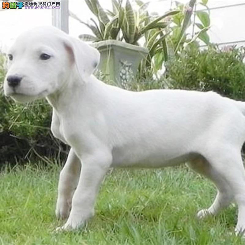 纯种杜高幼犬出售 驱虫疫苗已做好 全国送货上门