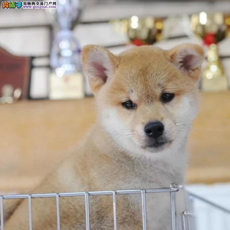 纯种柴犬幼犬出售 驱虫疫苗已做好 全国送货上门