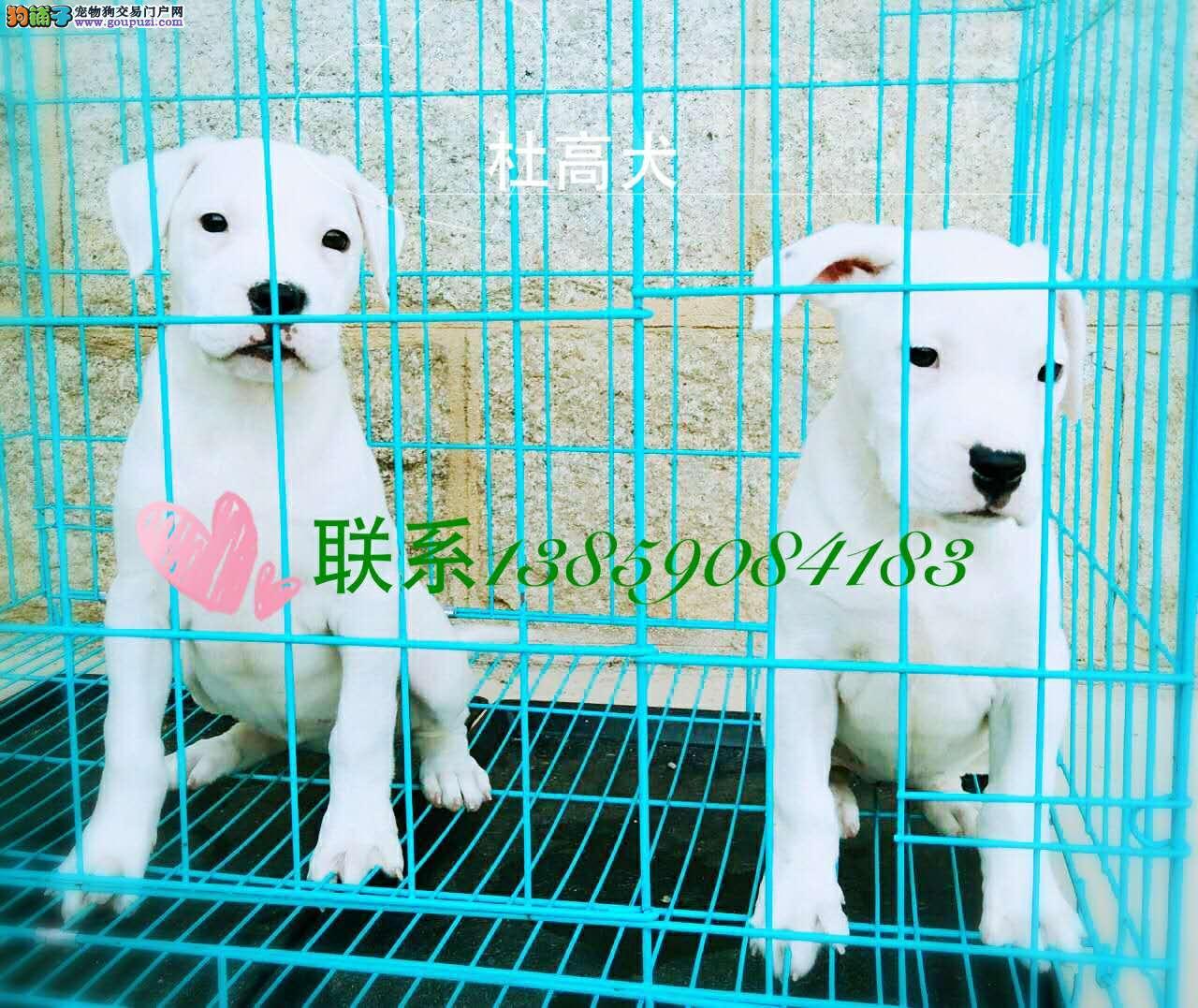 高品质猎犬杜高犬小犬出售
