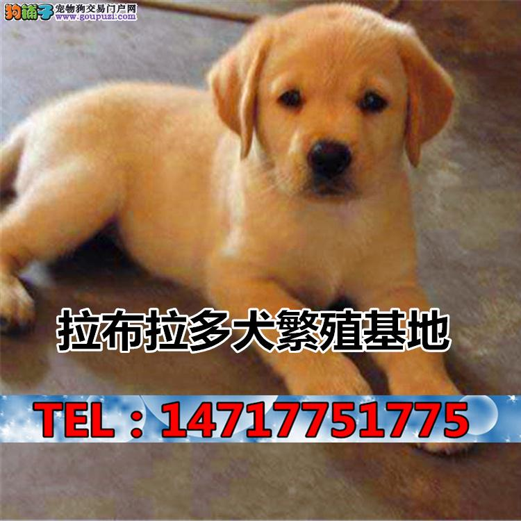 纯种拉布拉多犬出售 CKU拉布拉多犬幼犬
