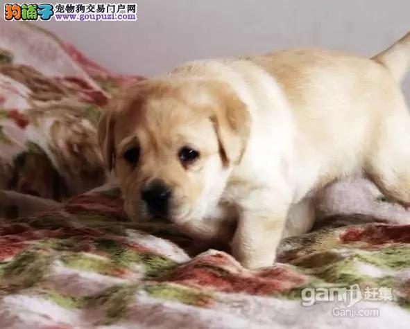 纯种拉布拉多幼犬出售 驱虫疫苗已做好 全国送货上门