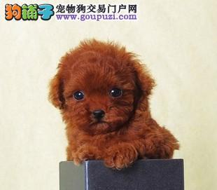 上海养殖场出售精品宠物狗泰迪,喜欢的联系