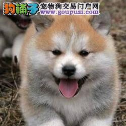 秋田犬 专业繁殖 包品质 基地直销 可实地挑选