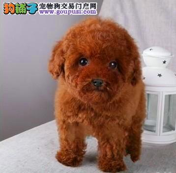 泰迪犬 专业繁殖 包品质 欢迎实地挑选