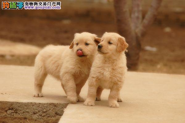 精品纯种金毛,优选培育强健幼犬,确保健康