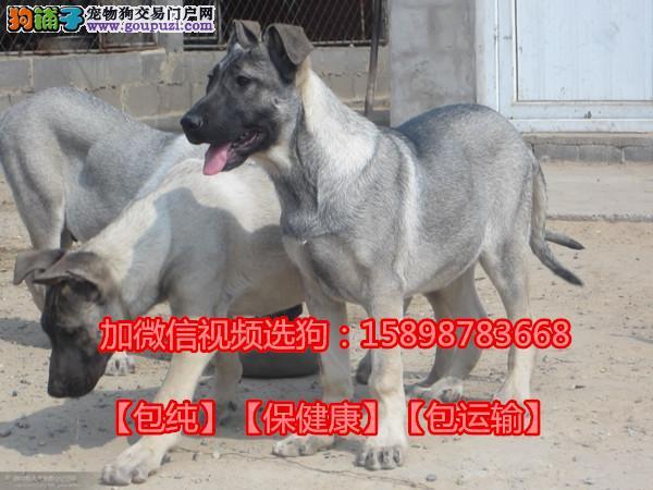 哪里有卖狼青犬的,狼青犬多少钱一只,狼青犬价格
