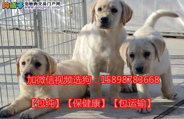 拉布拉多犬繁育基地 纯种血统  保养活 微信选狗