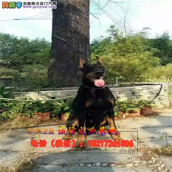 本地繁殖精品杜宾幼犬便宜出售,包纯包健康包养活