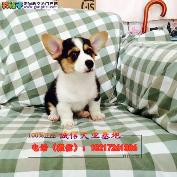 诚信销售柯基幼犬包纯种包健康可签协议