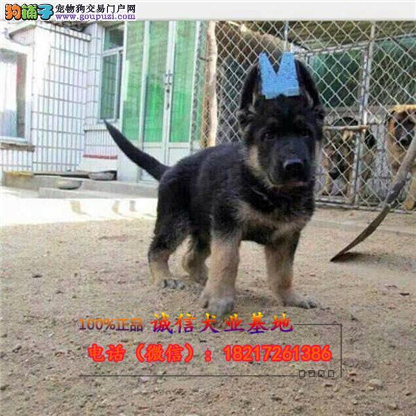 本地繁殖精品狼狗幼犬犬便宜出售,包纯包健康包养活