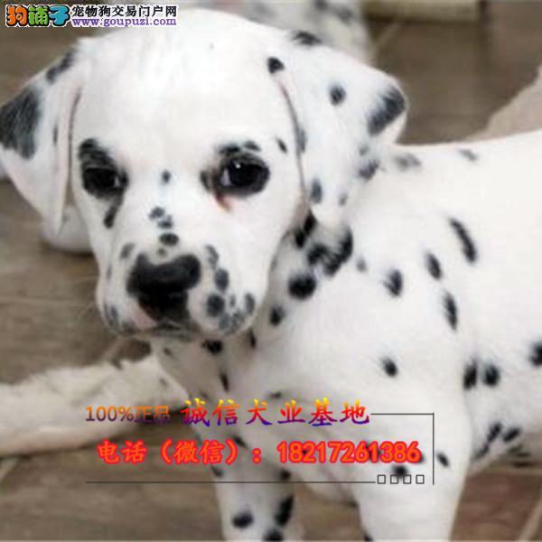 繁殖基地出售精品纯种斑点幼犬包纯种包健康