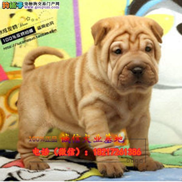 本地繁殖精品巴哥犬便宜出售,包纯包健康包养活