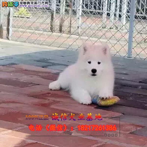 正泰名犬银狐犬包纯种包健康可签协议有保障