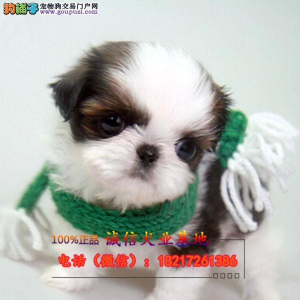 本地繁殖精品西施幼犬犬便宜出售,包纯包健康包养活