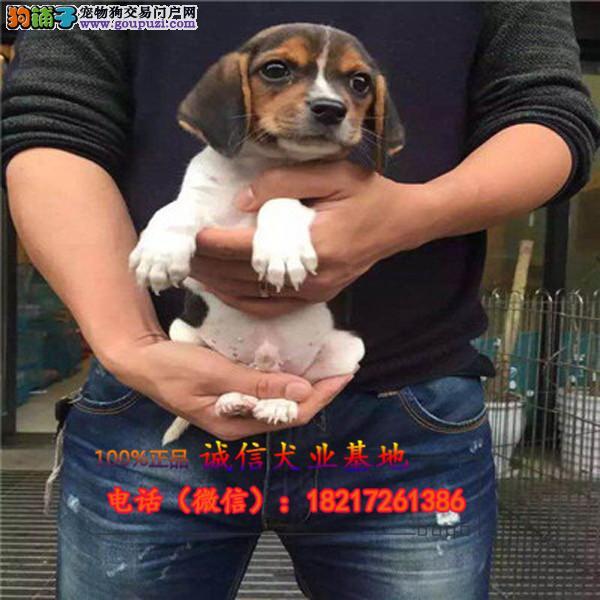 本地繁殖精品格力幼犬犬便宜出售,包纯包健康包养活