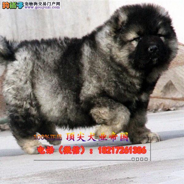 正规狗场 犬舍直销 纯种纽芬兰犬 真实照片包纯