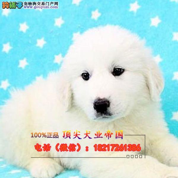 正规狗场 犬舍直销 纯种大白熊 真实照片包纯