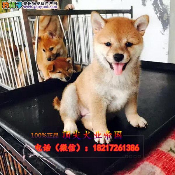 正规狗场 犬舍直销 纯种柴犬 真实照片包纯