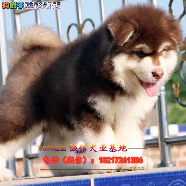 正规狗场 犬舍直销 纯种阿拉斯加 真实照片包纯