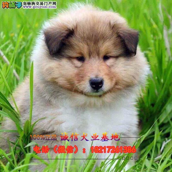 正规狗场 犬舍直销 纯种苏牧幼犬 真实照片包纯