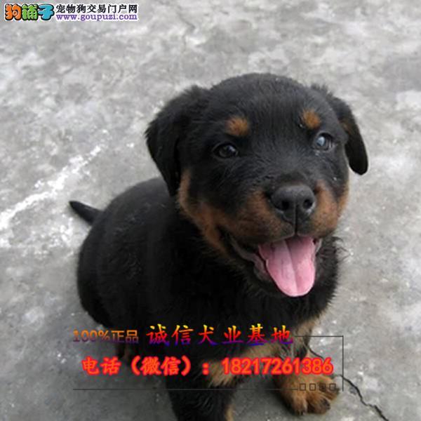 正规狗场 犬舍直销 纯种罗威纳幼犬 真实照片包纯