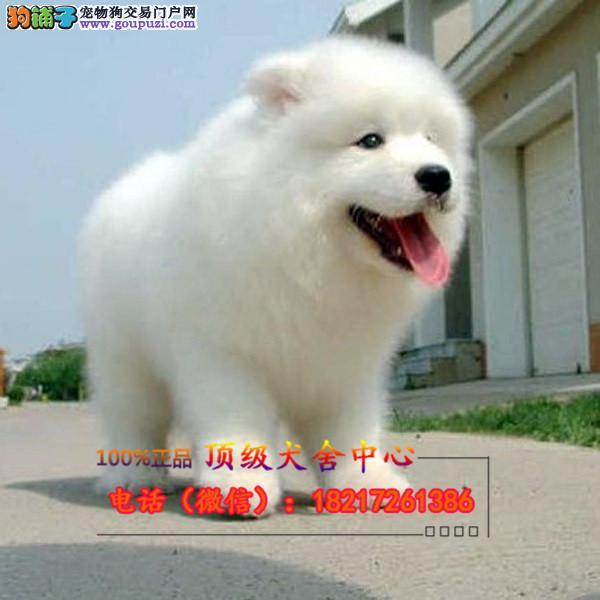 正规狗场 犬舍直销 纯种银狐 真实照片包纯