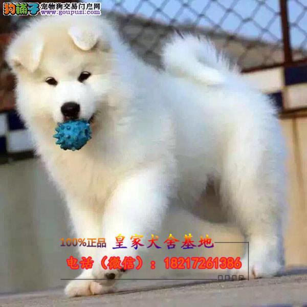 正规狗场 犬舍直销 纯种中亚牧羊犬 真实照片包纯